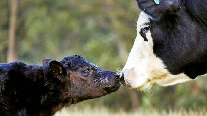 O državnim podsticajima za stočarstvo
